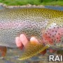 Best Bait for Rainbow Trout – A Mayfly on the Surface Water