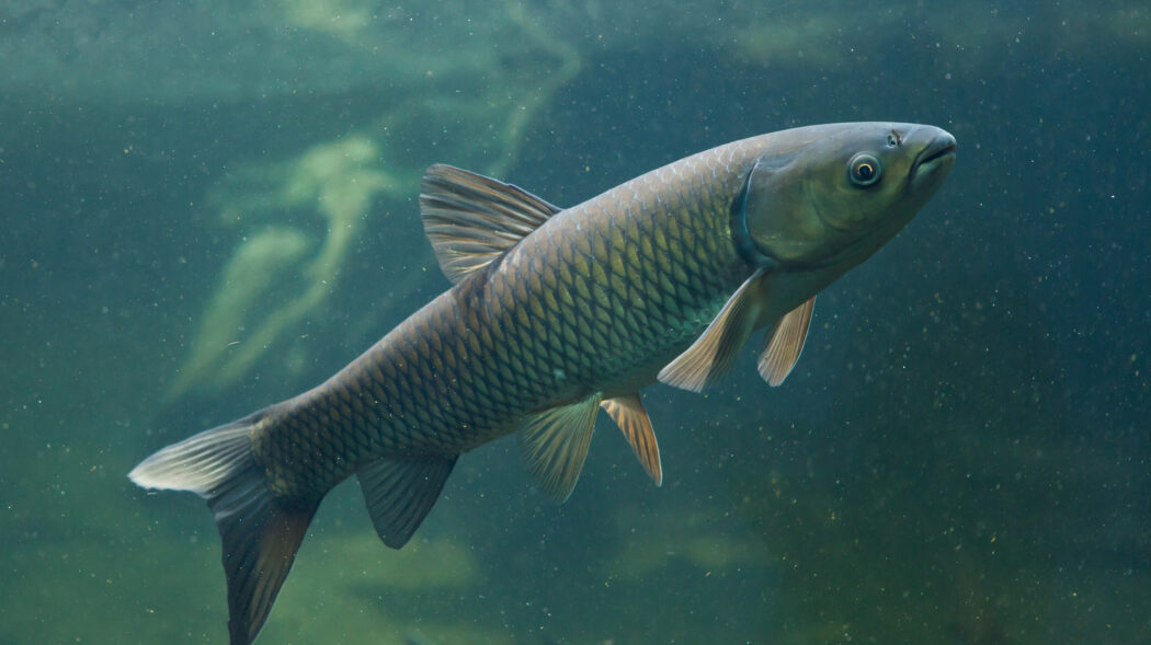 Featured Image For What Do Carp Eat? How & When To Catch More Carp