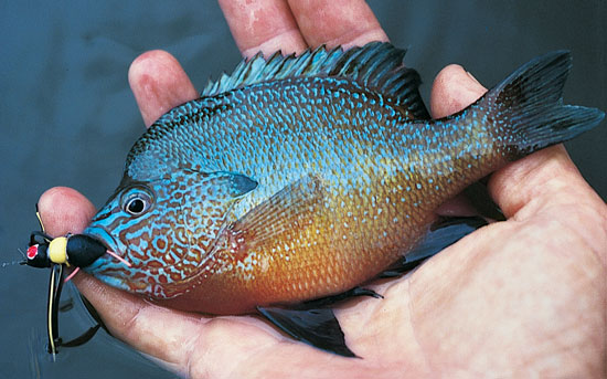 Bluegill-Hair-Foam-Popping-Bugs-Fly-Fisherman