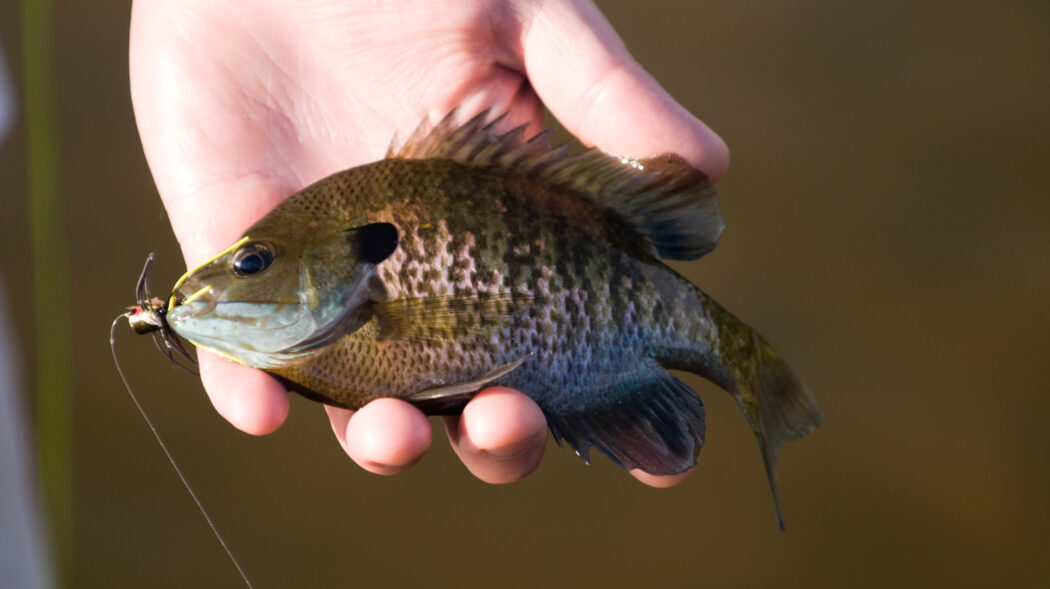 Featured Image For Best Bait for Bluegill – How To Catch Bluegill (2021 Update)