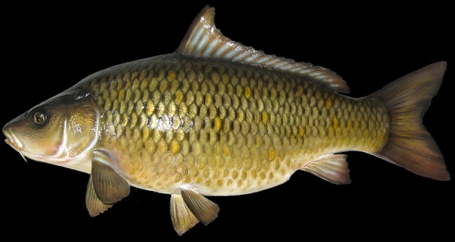 Featured Image For What Does a Carp Fish Look Like? Identify Carp vs Catfish