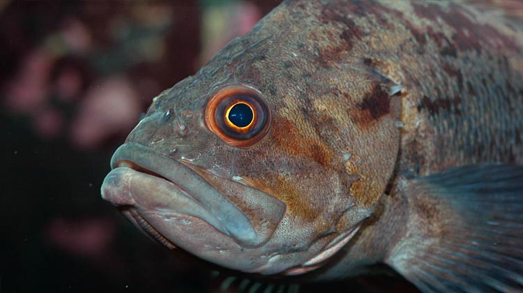 Featured Image For Best Bait for Rockfish – How to Catch Rockfish