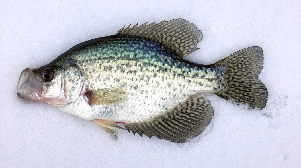 Featured Image For Ice Fishing For Crappie: Best Lures & Catch Tactics [2021]